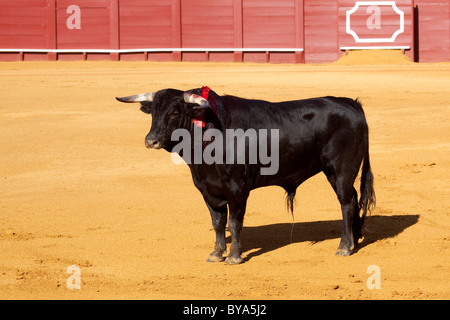 Bull, Plaza de Toros de la Maestranza bull ring, Seville, Andalusia, Spain, Europe - Stock Photo