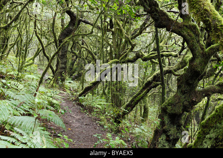 Forest trail in a forest of laurel trees, Garajonay National Park, La Gomera Island, Canary Islands, Spain, Europe