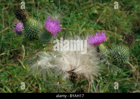 Spear thistle (Cirsium vulgare : Asteraceae) in flower and releasing fruits, UK. - Stock Photo