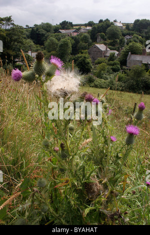 Spear thistle (Cirsium vulgare : Asteraceae), in flower and releasing fruits, UK. - Stock Photo