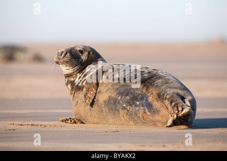 Large Bull Atlantic Grey Gray Seal Halichoerus grypus ion the sandy beach of the shoreline on the east coast of - Stock Photo