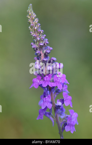 toadflax flowering in summer - Stock Photo