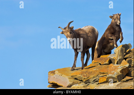 A Bighorn Sheep mother with a young baby on a rocky out crop near the top of a mountain. - Stock Photo