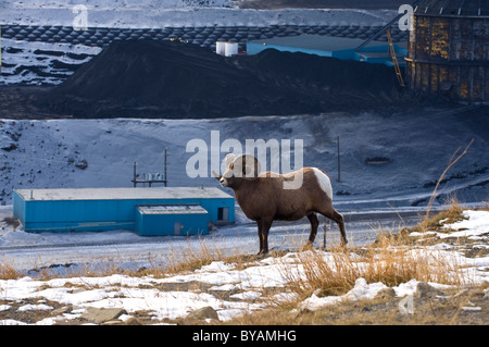 An adult Bighorn Sheep walking along a ridge overlooking a coal mine processing plant. - Stock Photo