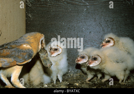 Barn owl (Tyto alba), adult feeding the young birds a mouse - Stock Photo