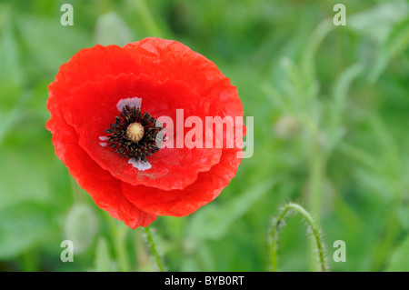 Field poppy, corn poppy (Papaver rhoeas), Germany, Europe - Stock Photo
