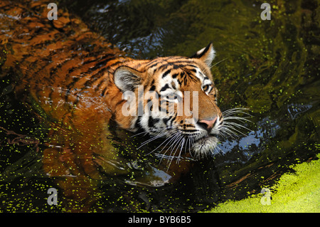 Siberian Tiger (Panthera tigris altaica), swimming in a moat, Tiergarten Nuernberg, Nuremburg Zoo, Nuremburg, Middle - Stock Photo