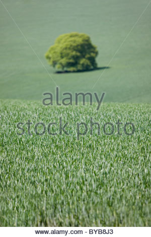 Tree growing in green field of early wheat - Stock Photo