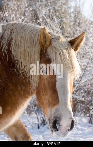 Belgian draft horse in winter snow - Stock Photo