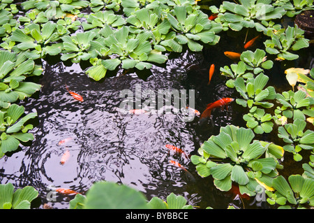 Goldfish in a pond in a formal garden with a water for Koi fish pond plants