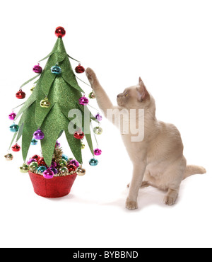 burmese cat with christmas tree portrait in a studio - Stock Photo