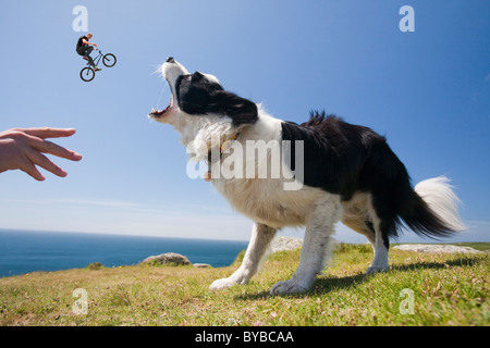 A Border Collie dog waiting for a stick on the Cornish cliff tops near Lands End, with a jumping trick cyclist. - Stock Photo
