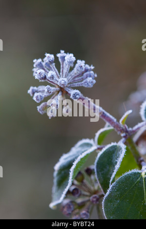 Ivy Berries; Hedera helix; in frost; winter - Stock Photo