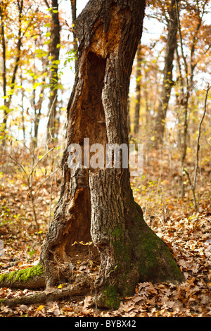 Image of a hollow tree stump in the forest - Stock Photo