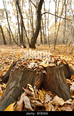 Big beech stump among fallen leaves in the forest - Stock Photo