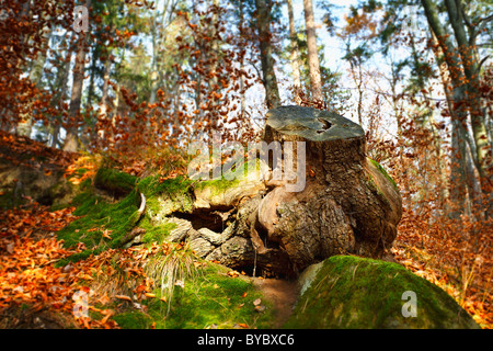 Big stump with moss in a beech forest - Stock Photo