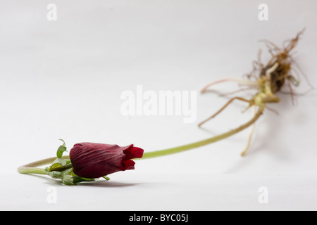 tulip with root - Stock Photo