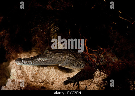 Morelet's crocodile, Crocodylus moreletii, Yucatan Peninsula, Mexico - Stock Photo