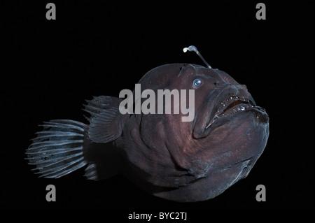 deep sea anglerfish or black seadevil, Diceratias pileatus, Hawaii - Stock Photo