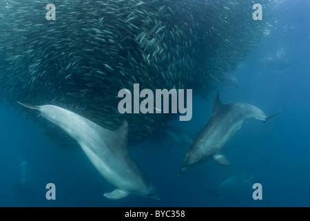 bottlenose dolphins, Tursiops truncatus, prey on bait ball of sardines during Sardine Run, South Africa - Stock Photo