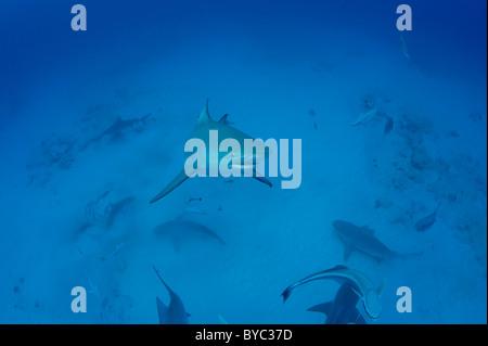 bull sharks, Carcharhinus leucas, Playa del Carmen, Cancun, Quintana Roo, Yucatan Peninsula, Mexico ( Caribbean - Stock Photo