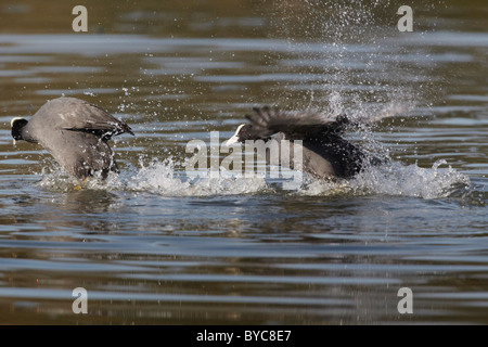 Coot (Fulica atra) chasing off another coot during mating season - Stock Photo