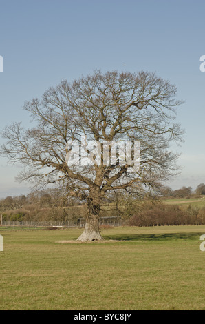 oak tree in field without leaves - Stock Photo