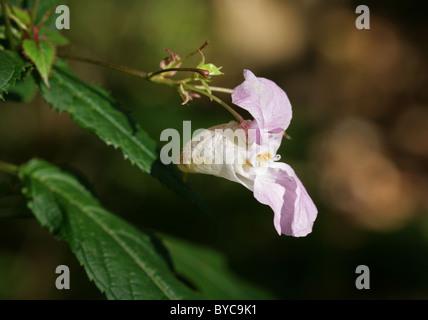 Himalayan Balsam, Impatiens glandulifera, Balsaminaceae. Himalayas, India.