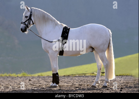 Andalusian Horse (Equus ferus caballus) ready for longeing. - Stock Photo
