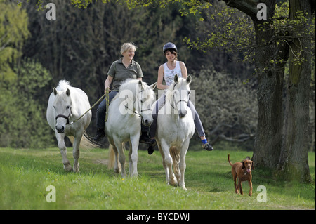 Connemara Pony (Equus ferus caballus). Two young women riding towards the camera. - Stock Photo