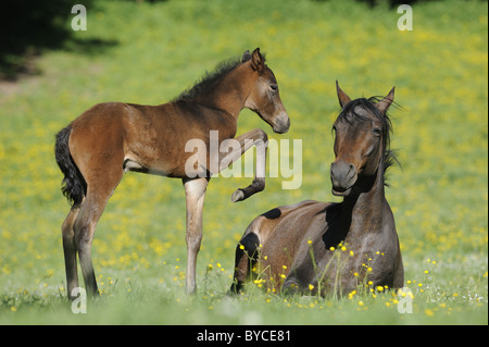 Mangalarga Marchador (Equus ferus caballus). Foal trying to play with its mother, which is lying on a pasture. - Stock Photo