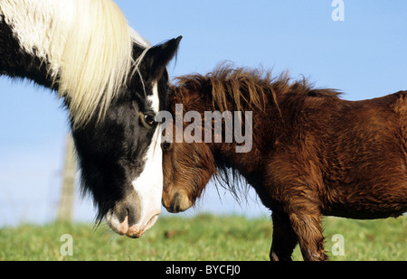 Gypsy Vanner Horse and Miniature Shetland Pony (Equus ferus caballus), a stallion and a gelding head-to-head. - Stock Photo