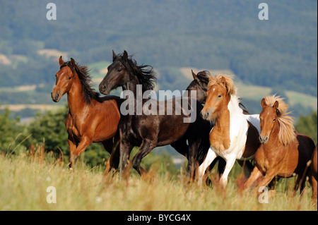 Mangalarga Marchador, Icelandic and Frisian Horse (Equus ferus caballus). Young stallions in a gallop on a meadow. - Stock Photo