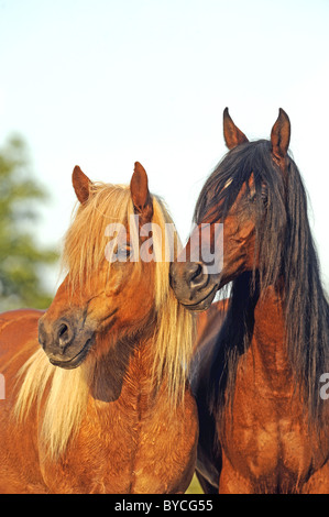 Mangalarga Marchador and Icelandic Horse (Equus ferus caballus), portraits. - Stock Photo