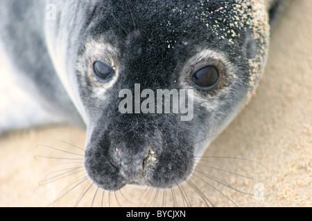 Grey Seal pup (Halichoerus grypus) on the beach near Horsey Dunes, Norfolk, UK - Stock Photo