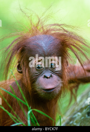 Cute baby Orangutan (Pongo pygmaeus) up close with eye contact. - Stock Photo