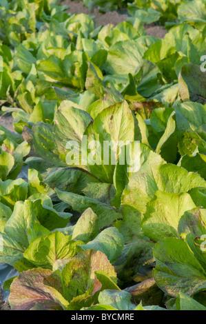field of chicory,organic farming - Stock Photo