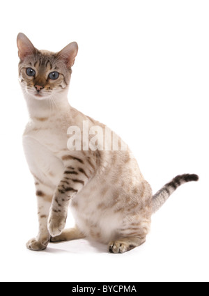 blue eyed snow spotted bengal adult cat Standing Portrait Studio - Stock Photo