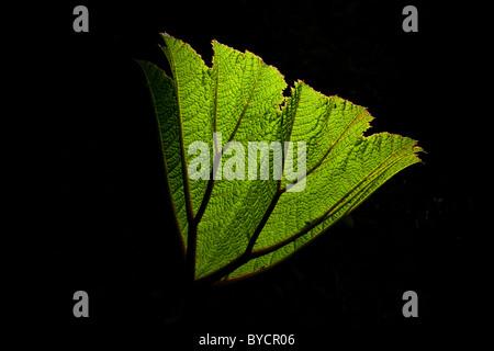 Unfolding leaf in La Amistad national park, Chiriqui province, Republic of Panama.