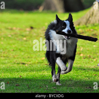 A Sheep Dog running with Stick - Stock Photo