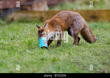 Red Fox ( Vulpes vulpes ) scavenging can from dustbin - Stock Photo