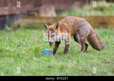 Red Fox ( Vulpes vulpes ) scavenging can - Stock Photo