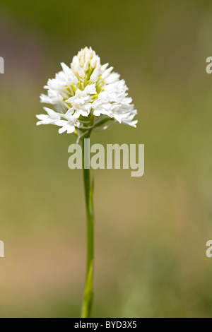Pyramidal Orchid ( Anacamptis pyramidalis ) single head white form - Stock Photo