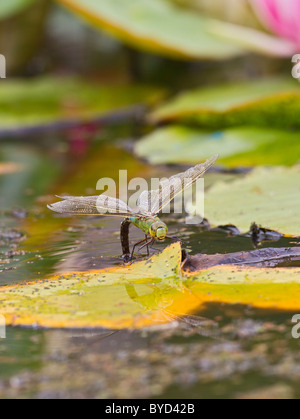 Emperor Dragonfly ( Anax imperator ) female laying eggs - Stock Photo