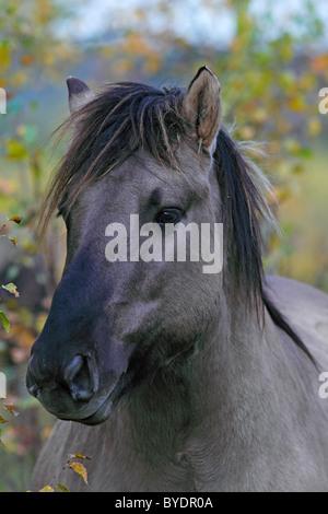 Konik horse (Equus przewalskii f. caballus), Tarpan rebreeding, portrait - Stock Photo