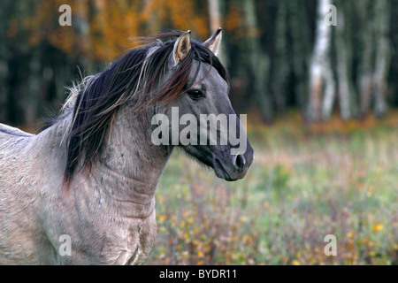 Konik horse (Equus przewalskii f. caballus), stallion, Tarpan rebreeding, portrait - Stock Photo