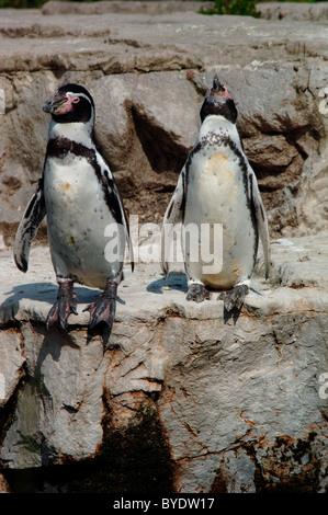 Humboldt Penguin (Spheniscus humboldti) (also termed Peruvian Penguin, or Patranca - Stock Photo
