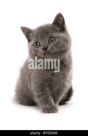 British Shorthair Kitten Sitting Studio - Stock Photo
