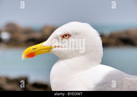 Yellow-legged Gull (Larus michahellis), portrait - Stock Photo