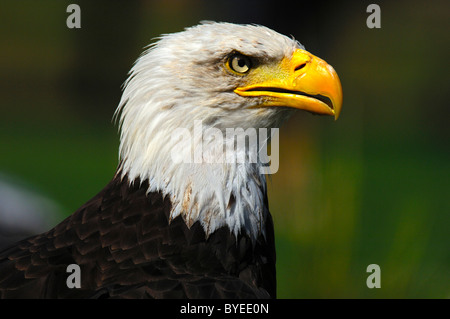 Bald eagle (Haliaeetus leucocephalus), portrait - Stock Photo